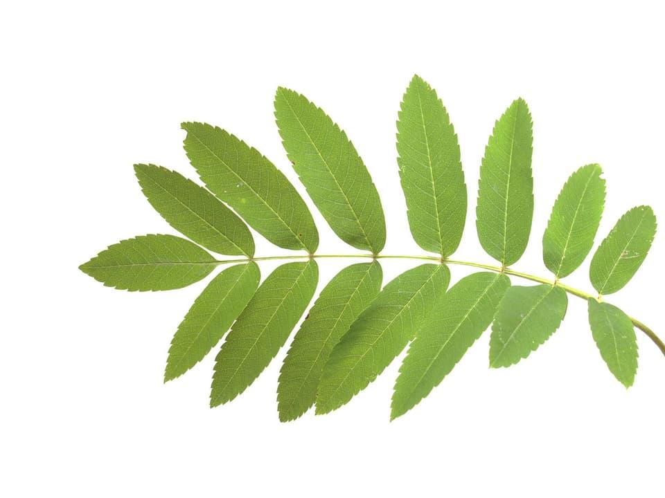 Grünes Eschenblatt.