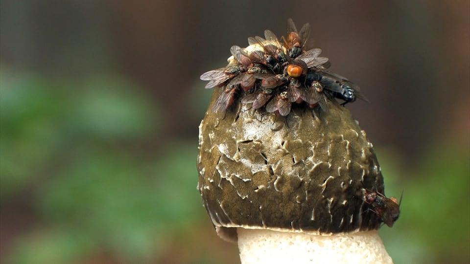 Auf der Pilzspitze sitzen viele Fliegen.