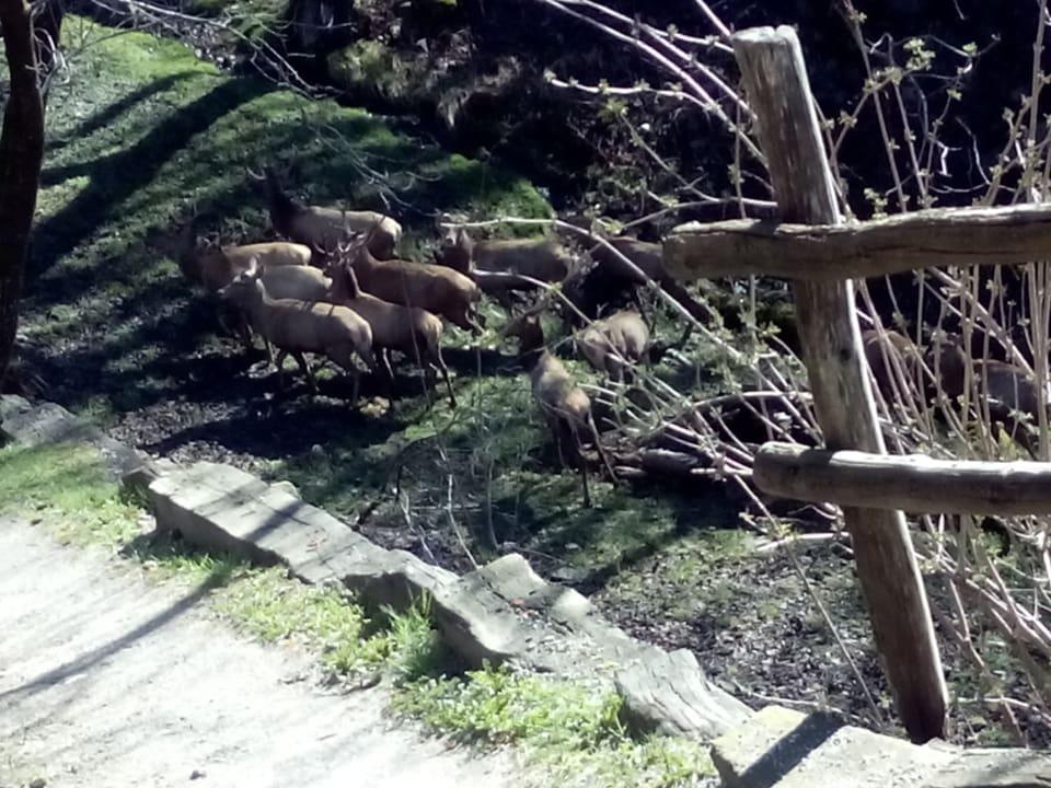 Eine Gruppe von Hirschen im Garten.