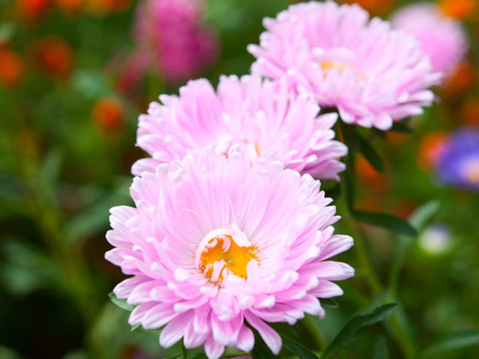 rosarote Astern