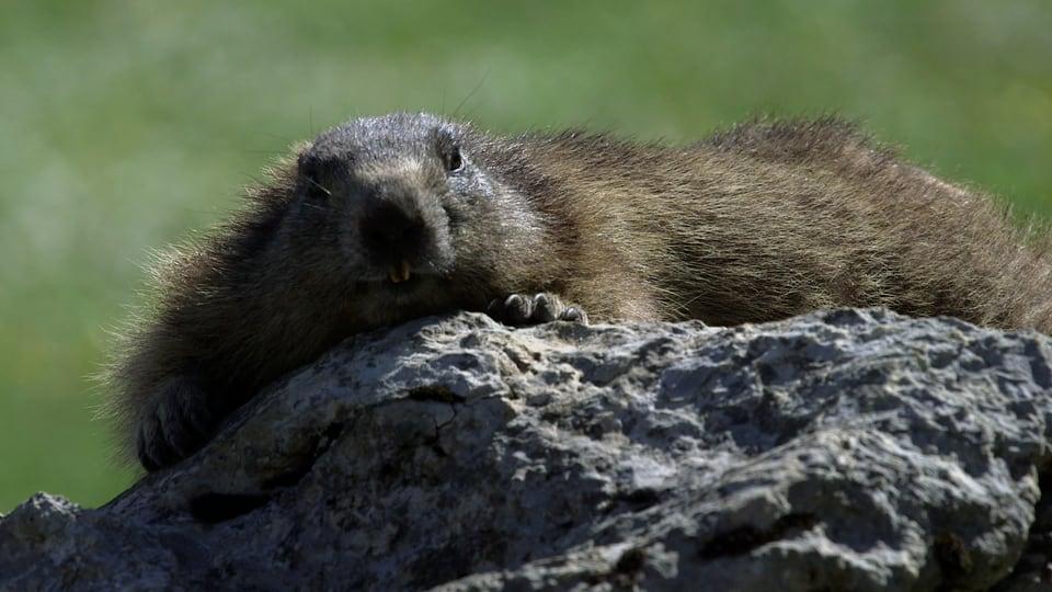 Faulpelze: Murmeltiere lieben die Sonne – aber bei allzu grosser Hitze kühlen sie sich mit dem Bauch auf einem kalten Stein ab.