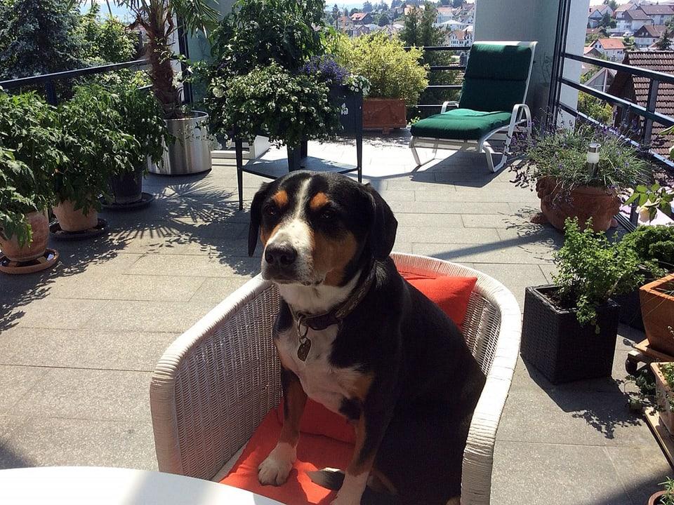 Ein Hund sitzt auf einem Balkonstuhl.
