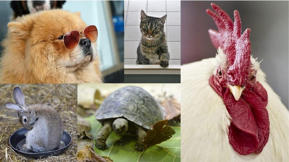 Animals da chasa
