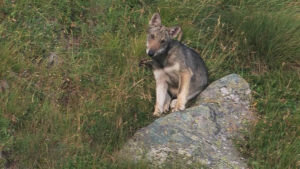 Jungwolf sitzt auf Stein und blickt neugierig in die Kamera