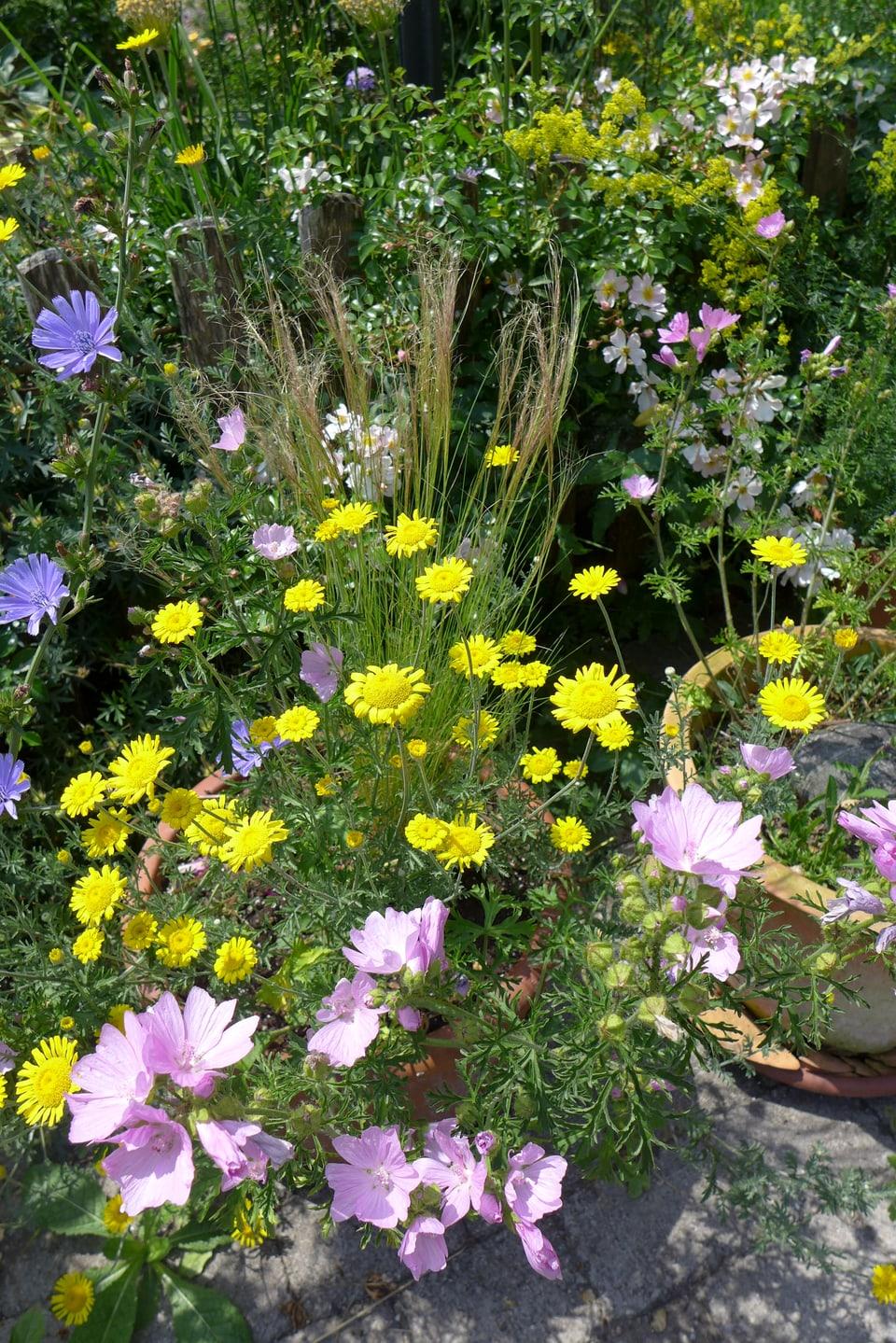 Engelhaar-Gras umringt von gelben und violetten Blumen.