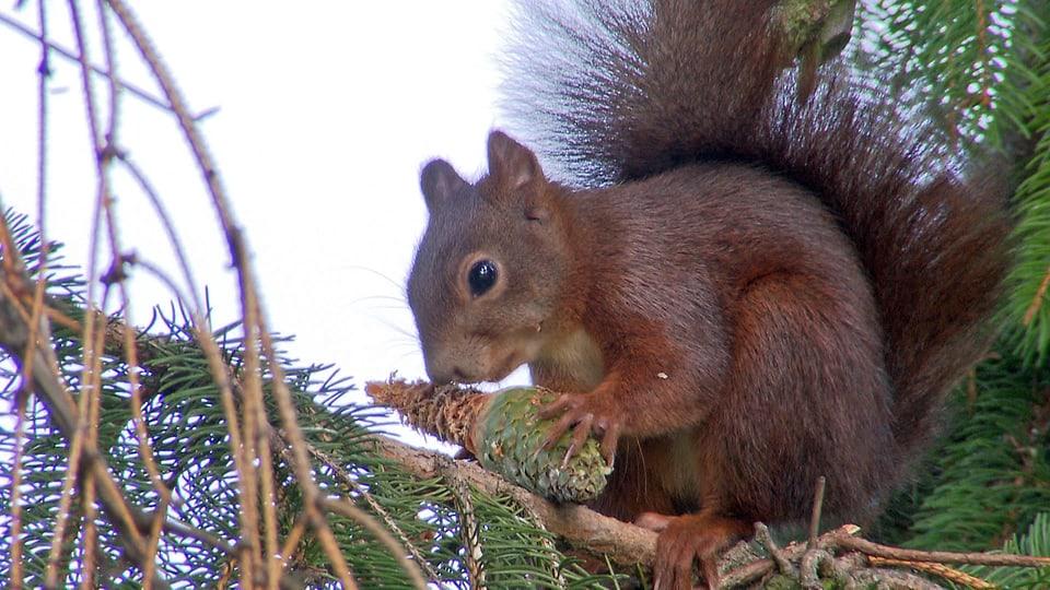 Eichhörnchen nagt an einem Tannenzapfen