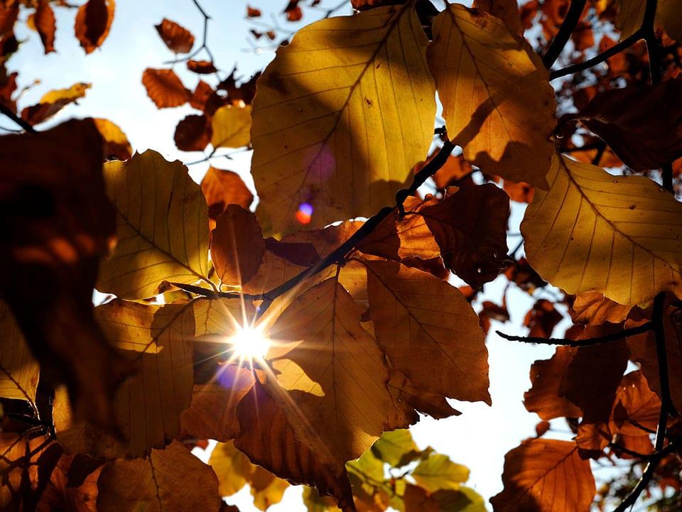 Die Sonne scheint durch einen Buchenbaum mit gelben Blätter.