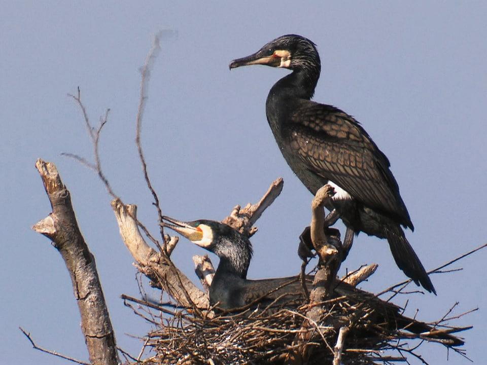Trautes Nest: Zur Sache geht's bei den Kormoranen erst, wenn das Nest in Ordnung ist (zwei ausgewachsene Kormorane in Nest)