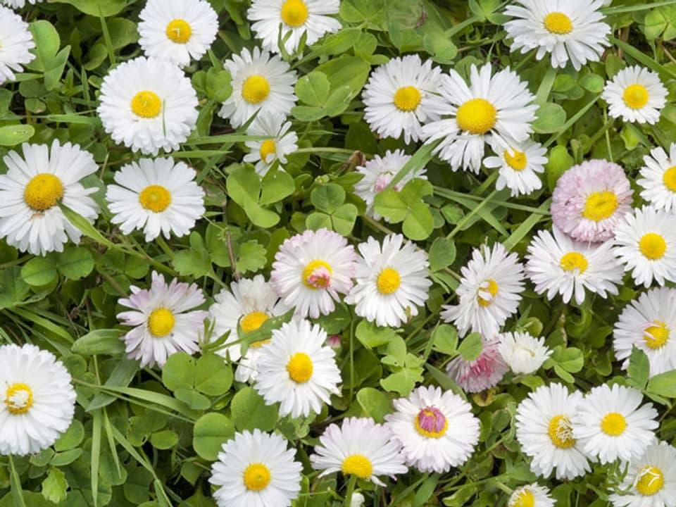 Gänseblümchen in einer Wiese