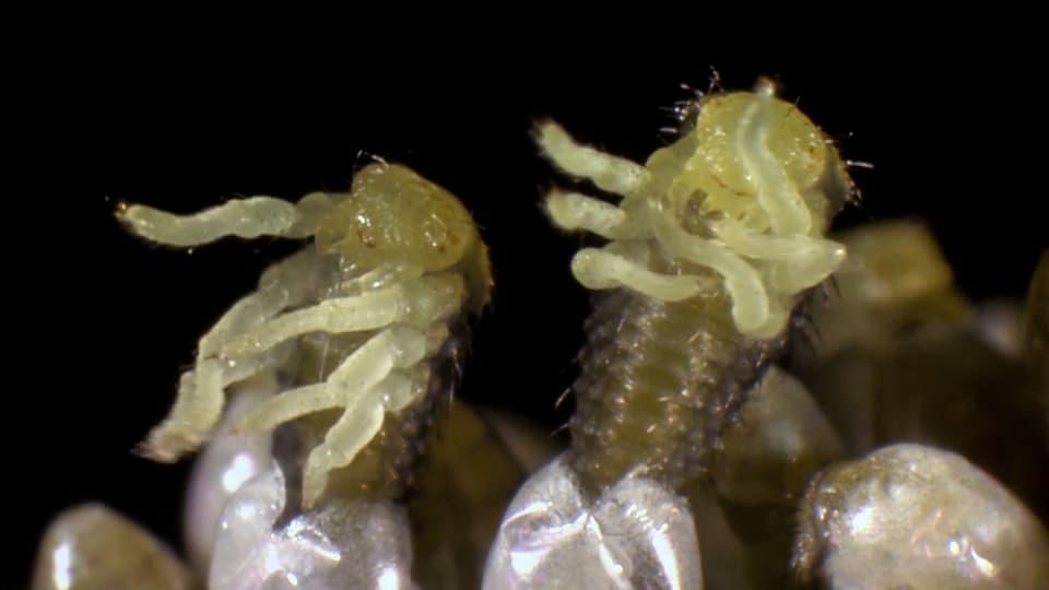 Frisch geschlüpfte Larven des asiatischen Marienkäfers.