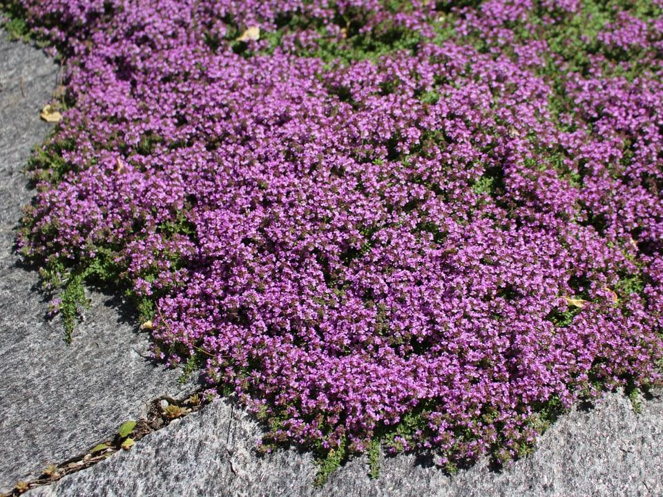 lila Blüemli zwischen Steinplatten