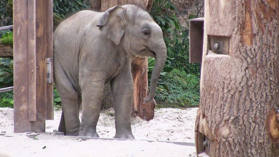 Junger Elefant kratzt an einer Metallstang im Zoo