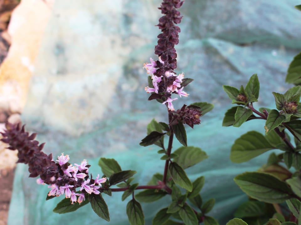 Basilikum mit violetten Blütenrispen.