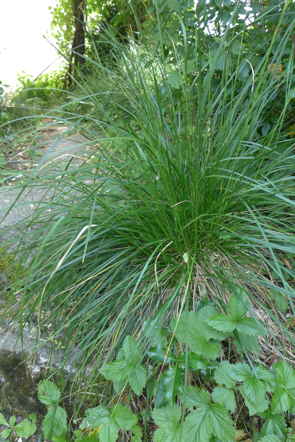 Waldschmiele (Deschampsia caespitosa) halbschattig bis schattig