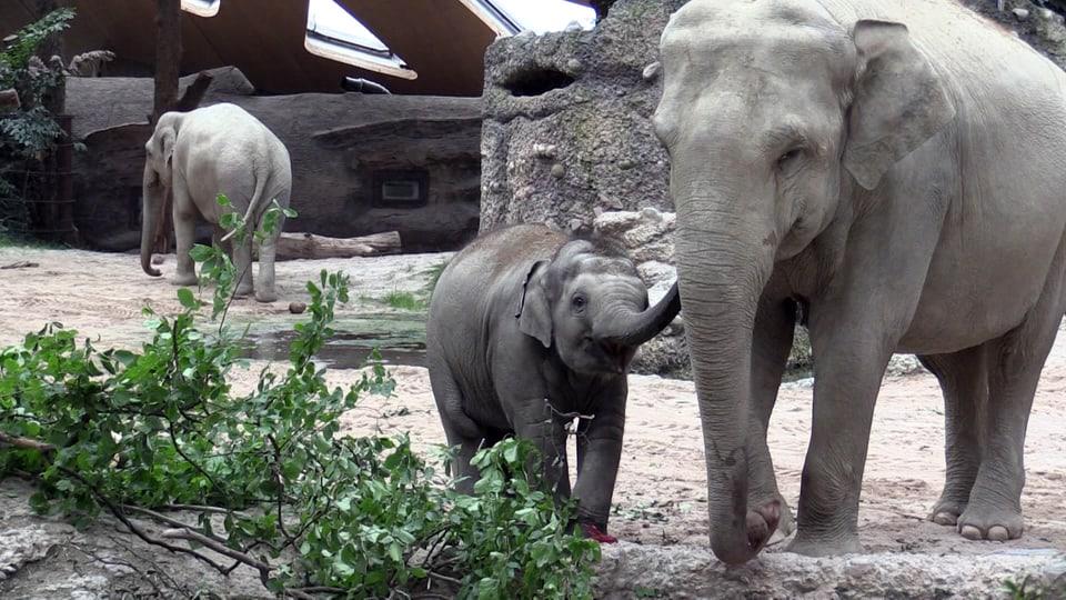 Junger Zoo Elefant beschnuppert was die Mutter frisst