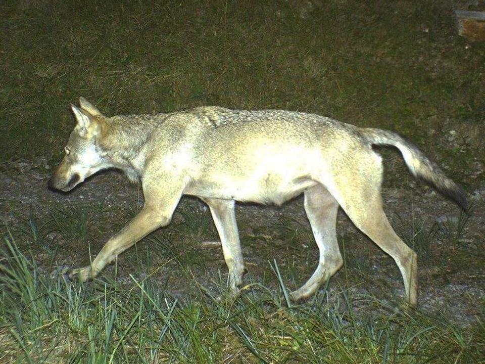 Erhellende Blitze: Fotofallen sind ein wichtiges Arbeitsmittel, um die Bewegungen der Wölfe in der Schweiz zu beobachten. (Wolf geht Feldweg entlang)