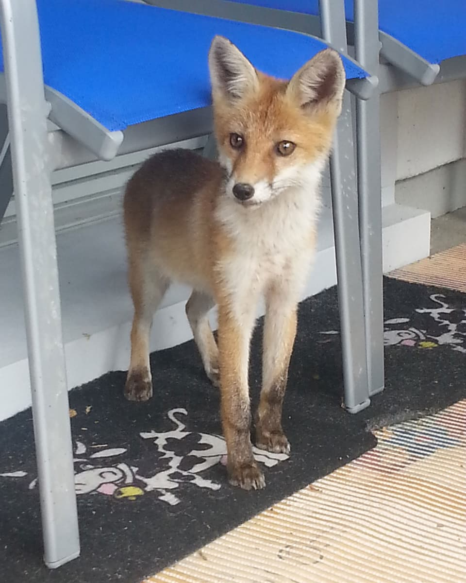Junger Fuchs unter einem Stuhl.