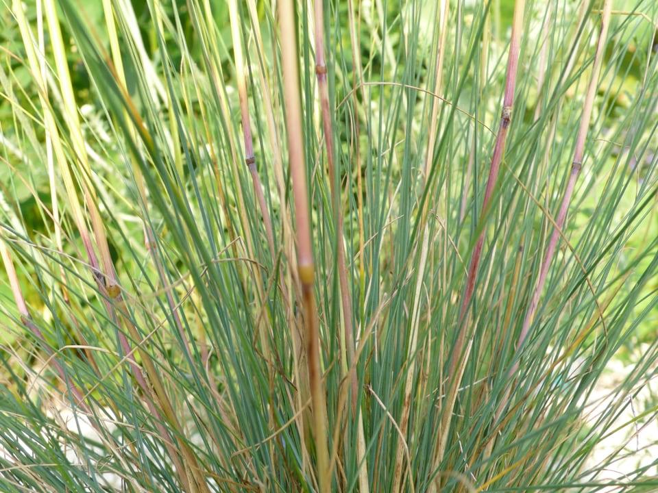 Regenbogenschwingel (Festuca amethystina) sonnig