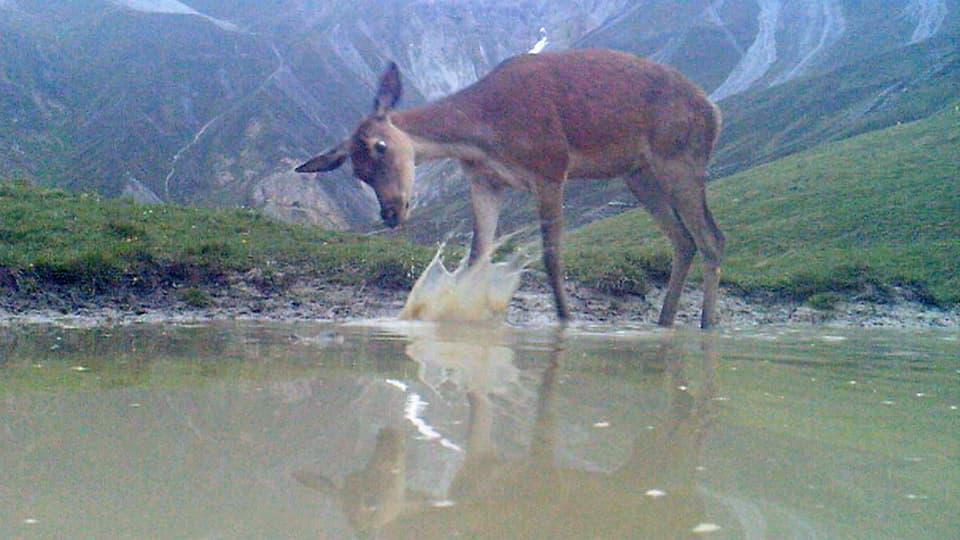 Hirschkalb sieht sich im Spiegelbild auf Wasseroberfläche, schlägt mit Huf ins Wasser.