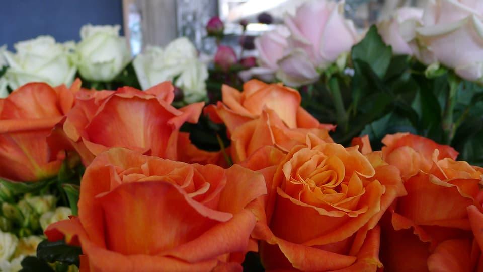 Nahaufnahmen von Linders selbstgezüchteten Rosen in den Farben orange, weiss und rosa.