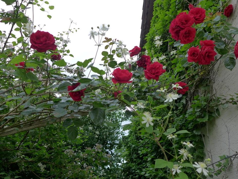 Mit roten Rosen überwucherte Hecke mit weissen Blüten.