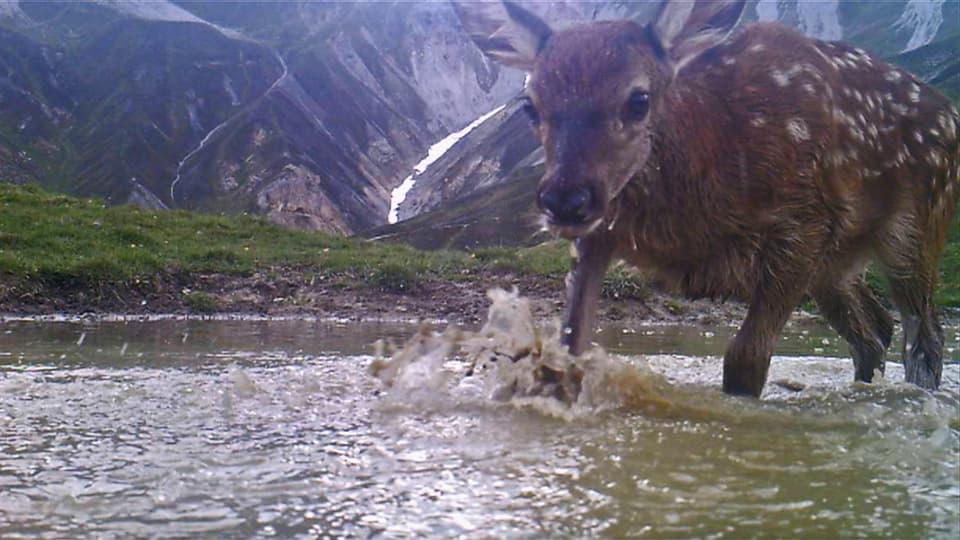 Hirschkalb in der Suhle: Die Kamera mitten unter den Tieren wird nicht als Fremdkörper wahrgenommen. (Hirschkalb schaut neugierig in Kamera)