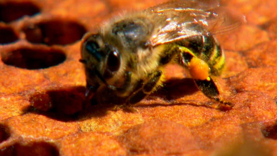 Streitobjekt: Wissenschaftler streiten sich über die Ursachen des Bienensterbens. (Biene an Wabe)
