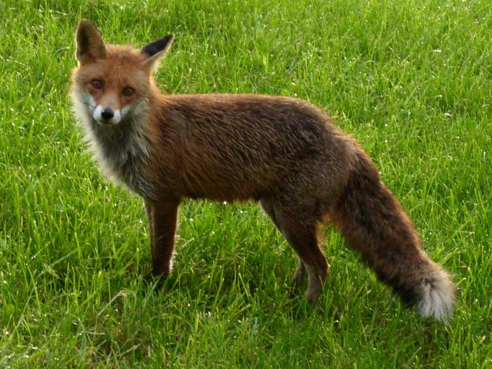 Fuchs auf einer Wiese.