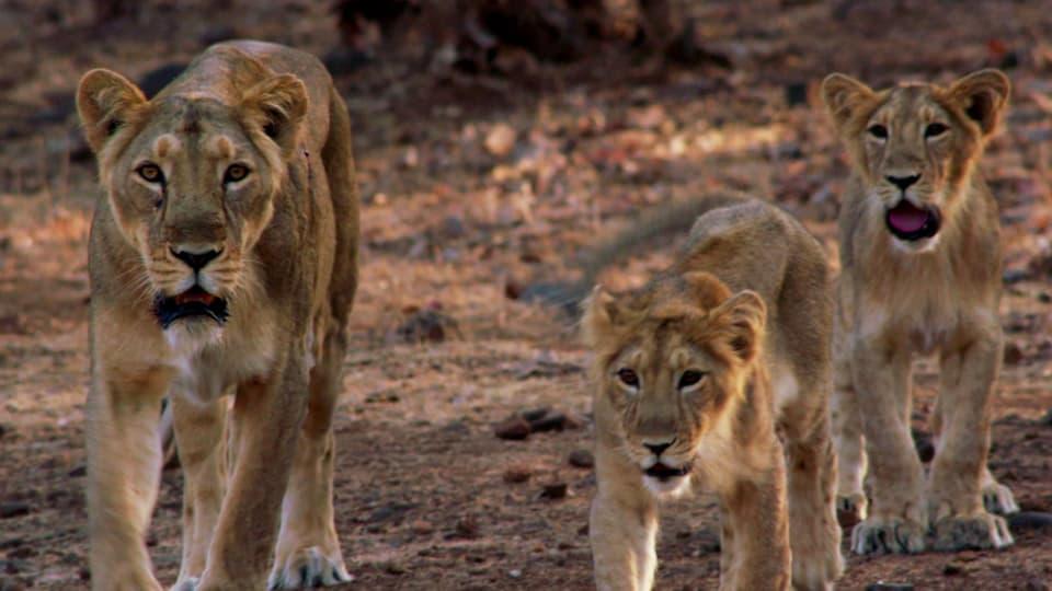 Löwenfamilie: Mutter und zwei Jungtiere laufen auf einen zu