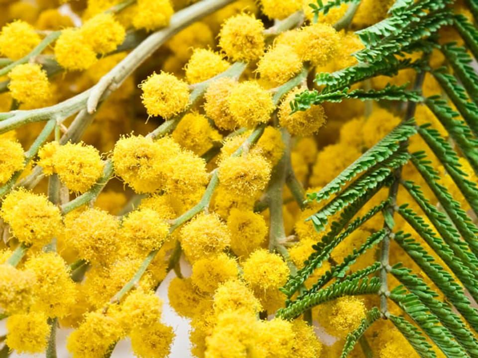 gelbe Mimosen liegend