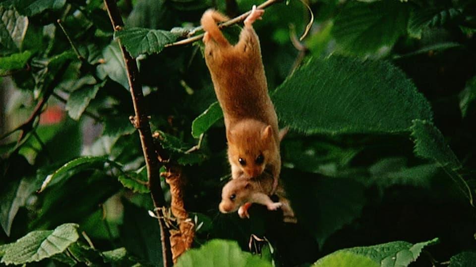 Eichhörnchen vergräbt Haselnuss