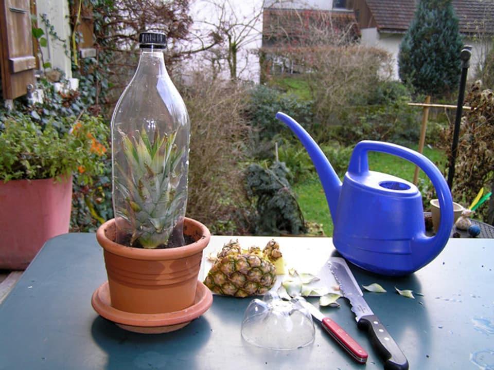 Tisch mit Giesskanne, Blumentopf mit Ananas-Setzling und PET-Flasche als Treibhaus darübergestülpt.