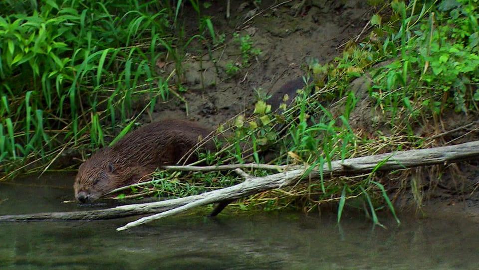 Biber bringt Beblätterten Ast in den Teich, am Ufer