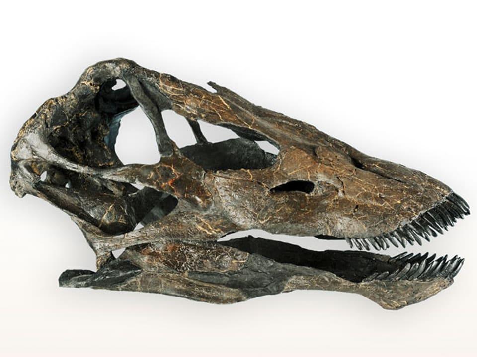 Der montierte Schädel des Sauropoden Galeamopus «MaX».