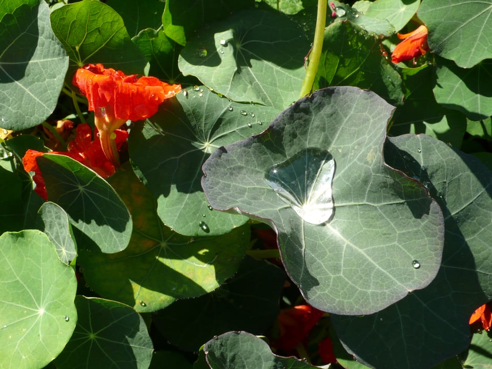 Ein grosser Regentropf auf einem Blatt einer Kapuzinerkresse, die am Blühen ist.