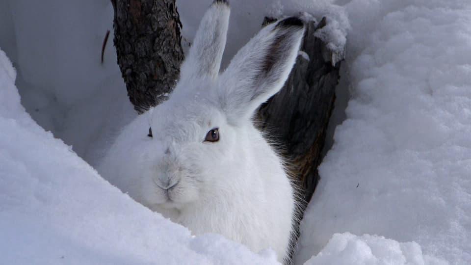 Kuscheln als Strategie: Mit seinem Kuschelfell sitzt der Schneehase oft bewegungslos in einer Schneekuhle oder lässt sich sogar einschneien. So spart er Energie. (Schneehase im Schnee, weiss auf weiss, schaut in Kamera)