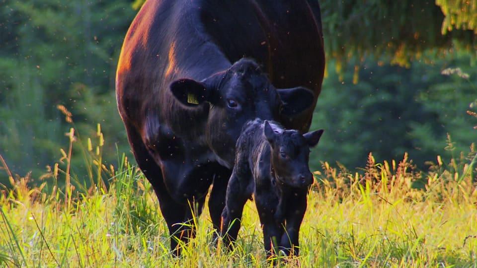 Schutzmacht: Kühe verteidigen ihre neu geborenen Kälber (Mutterkuh mit Kalb auf einer Wiese).