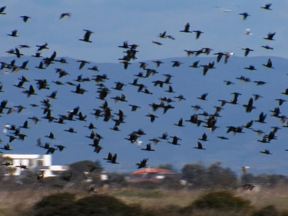 Ökothriller: Wie eine Szene aus einem Hitchcock-Film wird der Himmel schwarz vor lauter Vögeln, wenn sich in Sardinien die Kormorane zum Fischen aufmachen (Vogelschwarm fliegt über Landschaft)