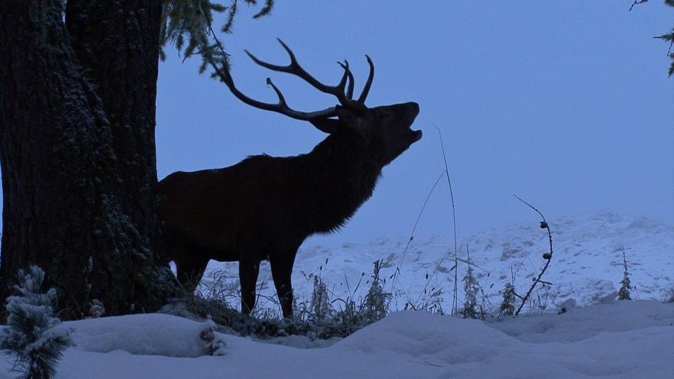 Grosse Röhre: Im Nationalpark kann man in der zweiten Septemberhälfte die Brunft, das Paarungstreiben der Hirsche, besonders gut beobachten. (Rothirsch röhrt in Winterlandschaft)