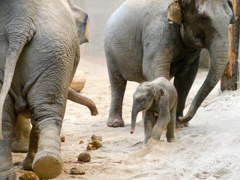 Das Neugeborene des Zoos, Ruwani, läuft zwischen den anderen Tieren umher