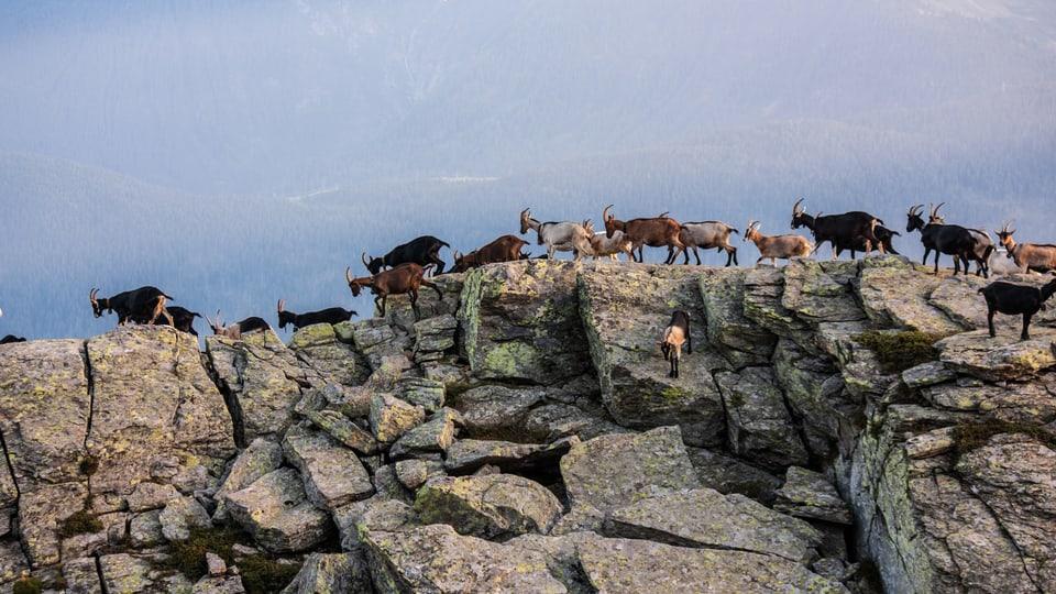 Ziegenherde läuft auf Felsenkamm