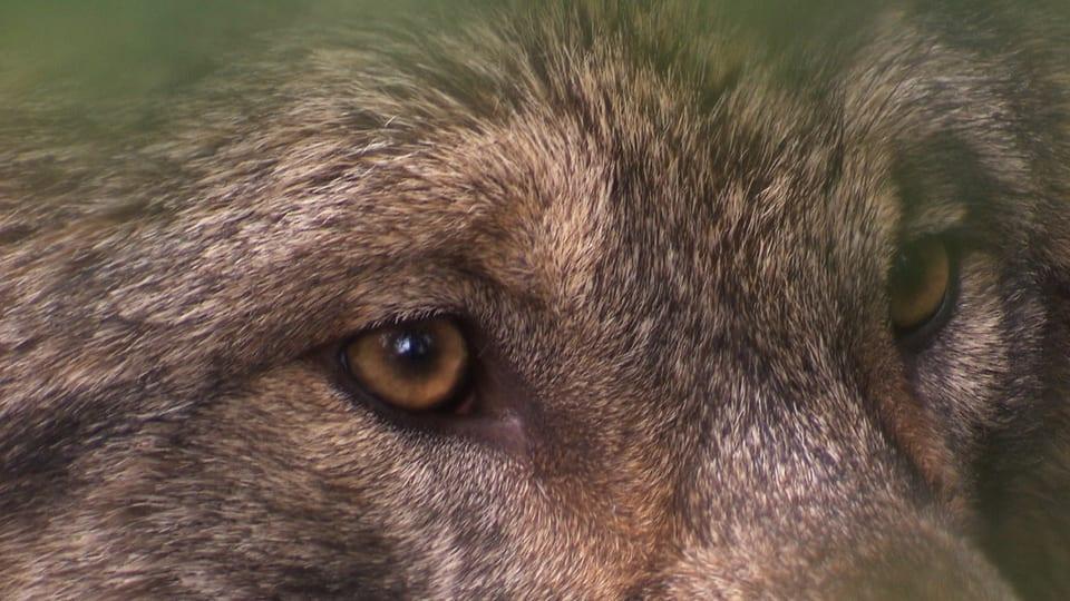 Nahaufnahme Augen Wolf