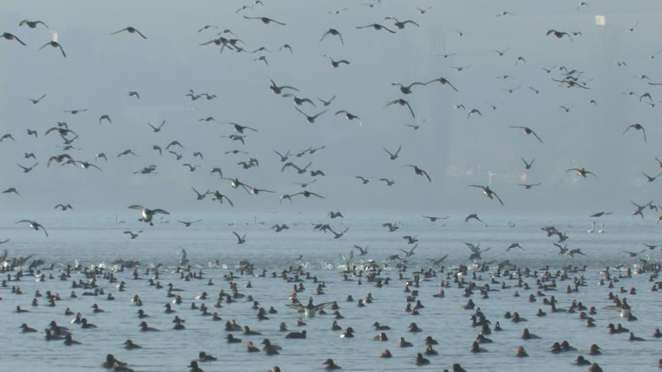 Viele Enten im Flug.
