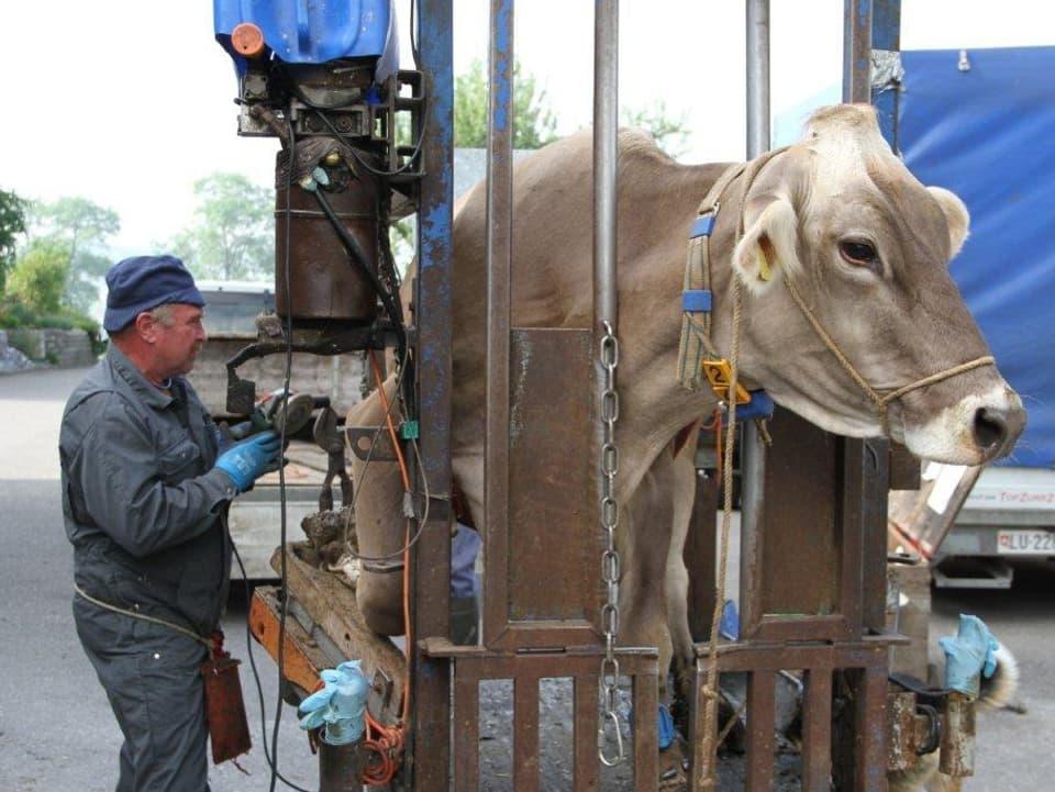 Die Kuh hat ihren Kopf zwischen zwei Metallstangen. Ihr rechtes vorderes Bein liegt angewinkelt auf einem Holzbrett.
