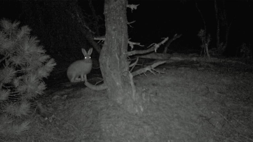 Ein Schneehase hat sich bei völliger Dunkelheit mit Infrarot selbst gefilmt.
