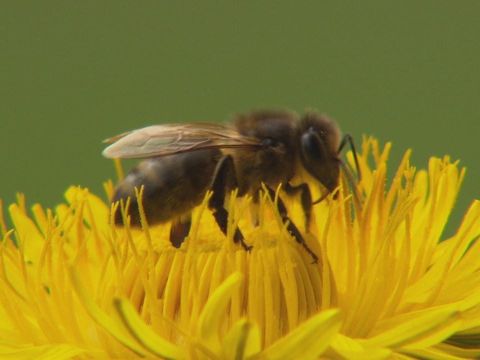 Biene auf einer Blumenblüte.