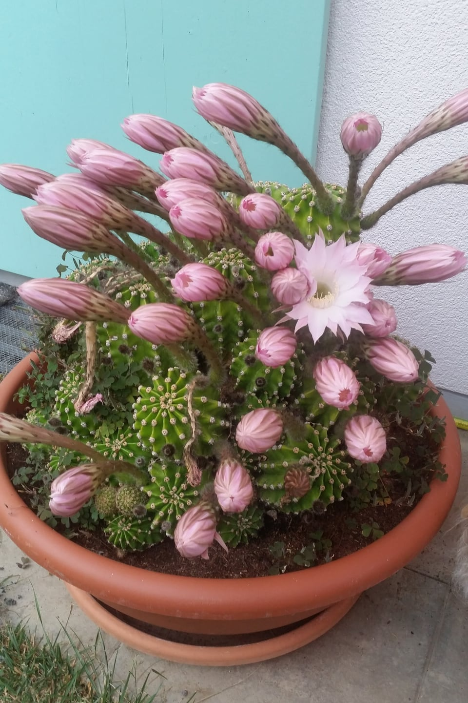 Topf mit grünem kleinen Kaktus mit rosaroten Blüten