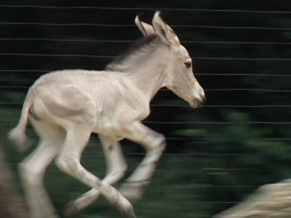 Geboren, um zu rennen: So übt das Somalieselchen spielerisch, sich gegen Feinde zu behaupten. (rennender Esel)
