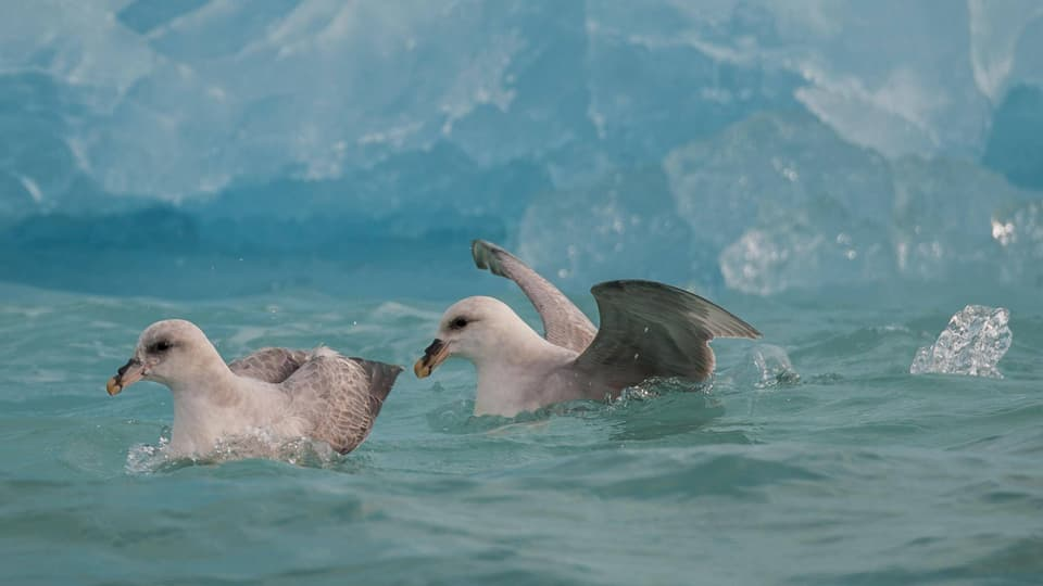 Eissturmvögel: