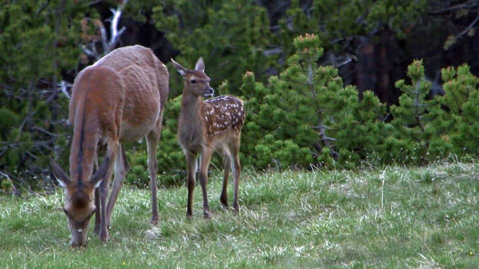 Bambi lebt: Im ersten Lebensjahr entdeckt ein junges Hirschkalb seine Welt im Nationalpark. (Hirschkuh grast neben Hirschkalb)